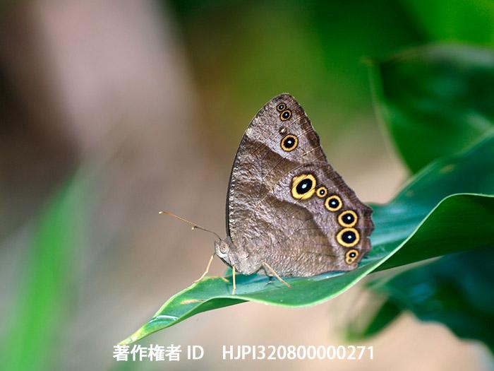 ウスイロコノマチョウ Melanitis leda - 海野和男のデジタル昆虫記 ...